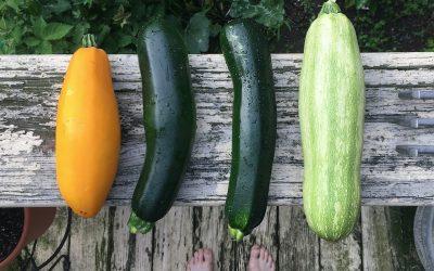 Zucchini – vielseitig und köstlich